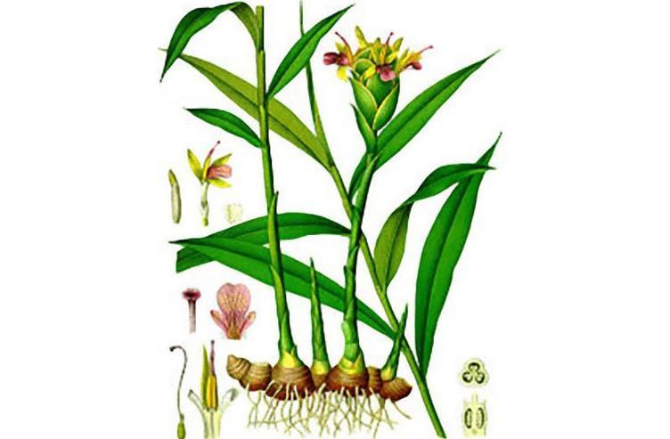 pianta di zenzero